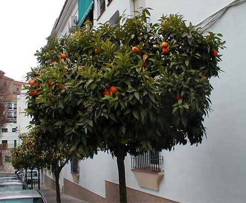 Orange tree close to our rental property in Torrox, Spain